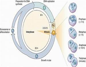 Cell Cycle  Stages Of Cell Cycle  Phases In Order  G1  S