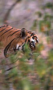 tiger eye & bush | chefsoumya | Flickr