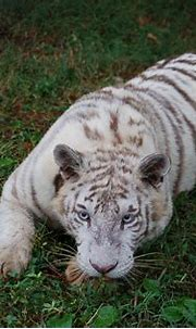 Pin on Zuri ~ White Tiger
