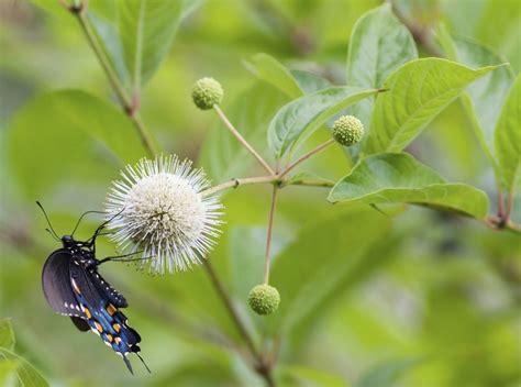 Cephalanthus occidentalis : planter et cultiver - Ooreka