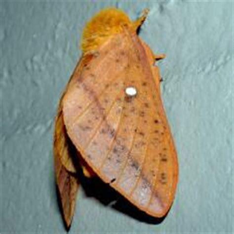 moth photographers group living moths plate  saturniidae