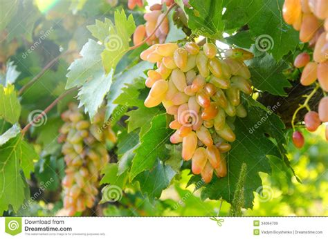 lady finger grapes royalty  stock images image