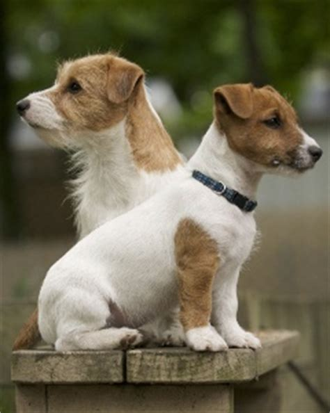 1000 images about love jack russell terriers on