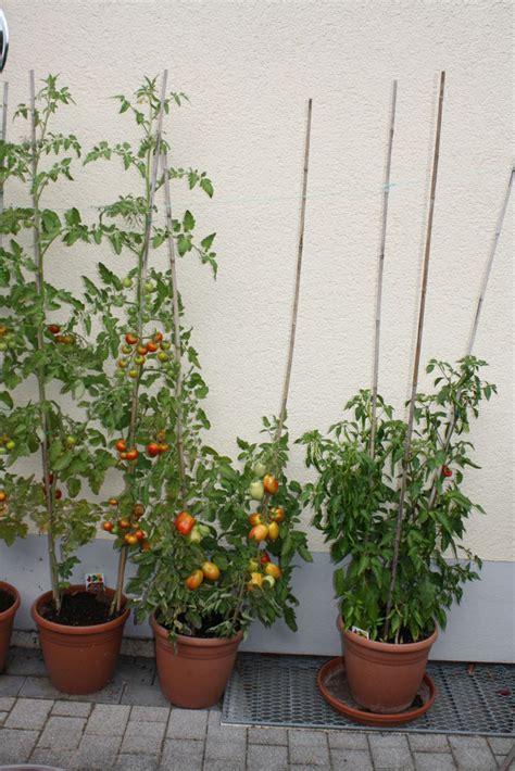 tomaten im topf themenschwerpunkt frische tomaten aus eigenem anbau