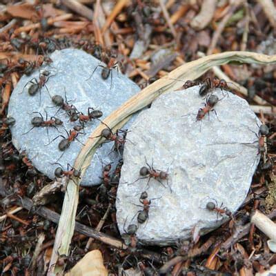 ameisenplage bekaempfen ace zydek
