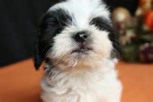 How Much Are Havanese Puppies