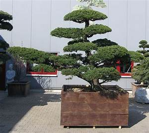 produkte gartenbonsai kiefer gartenbonsai With whirlpool garten mit big bonsai kaufen