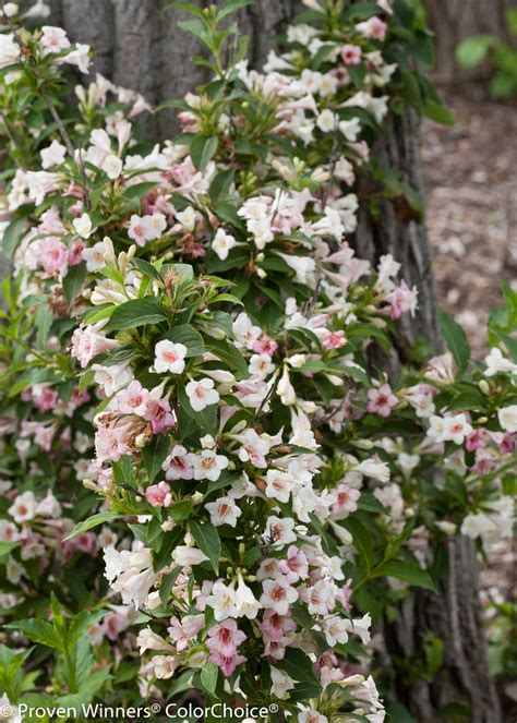 weigela shrubs sonic bloom 174 pearl reblooming weigela weigela florida proven winners