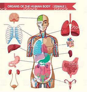 Organs Of The Human Body Diagram Stock Vector Art  U0026 More