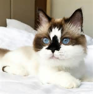 cat images this adorable munchkin cat is about to be your new feline