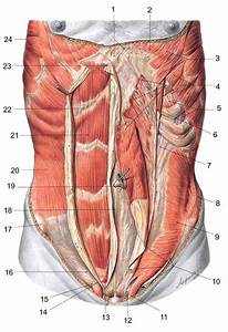 Abdominal Muscles Anatomy  With Images