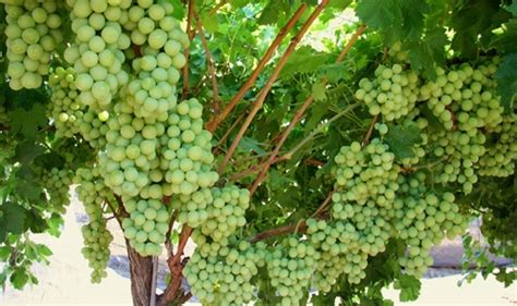 how do grape vines grow how to grow grapes at home sun world
