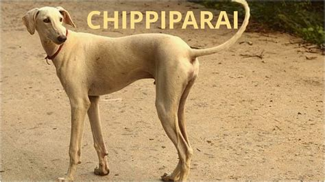 chippiparai dogs dog breeds dogs profile youtube