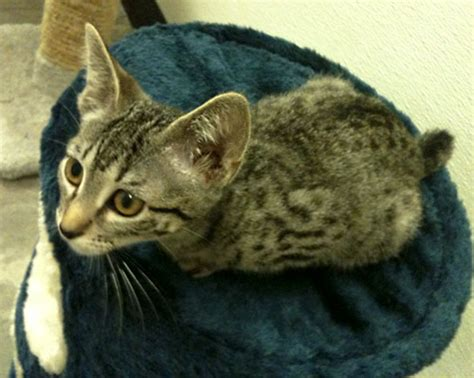 candy ocicat humane society  dallas county