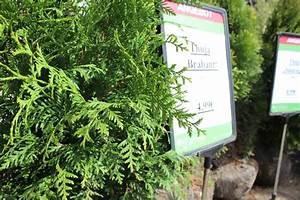Thuja Brabant Wachstum : baumschule 2017 ~ Michelbontemps.com Haus und Dekorationen