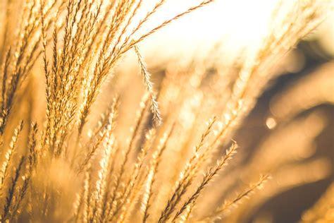 picture sunshine wheat grain field agriculture