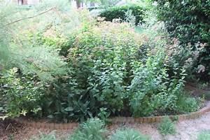 Pied De Menthe : qu 39 elle est la taille maximale d 39 un pied de menthe page 2 au jardin forum de jardinage ~ Melissatoandfro.com Idées de Décoration