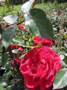 Kletterrose New Dawn : kletterrose red new dawn r kletterrose ~ Michelbontemps.com Haus und Dekorationen