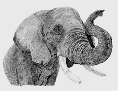 deviantart   african elephant pencil drawing