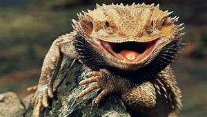 Bearded Dragon Wallpaper and Background Image | 1680x945 ...