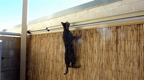 bengal kitten  oscillot cat containment system youtube