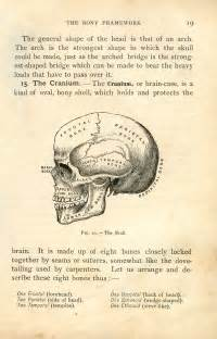 vintage clip anatomy skull printable the graphics