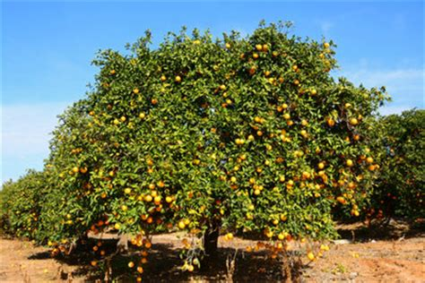wann pflanzt obstbäume wann pflanzt obstb 228 ume pflanzen f 252 r nassen boden