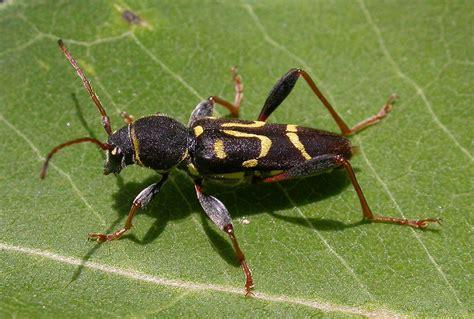 index  beetles