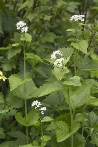 Unkraut Weiße Blüte : lamiumalbum wei e nessel oder wei e totnessel stockbild ~ Lizthompson.info Haus und Dekorationen
