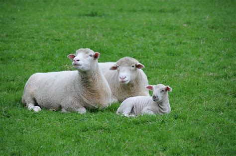 Dorset Yarn From Dorset Sheep!