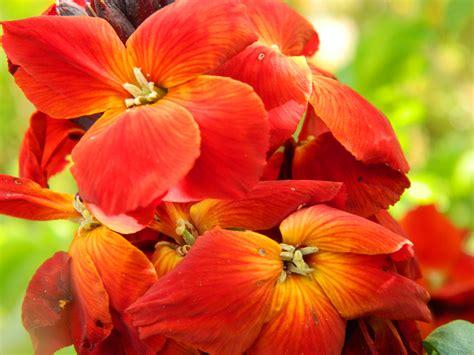 wallflower wallflowers tom side propagating villas shoots sowandso