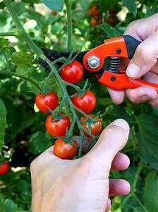 Plant Tomate Cerise : fiche plante tomate cerise culture brunch and planters ~ Melissatoandfro.com Idées de Décoration