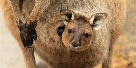 Once You See Inside A Kangaroo's Pouch, There's No Going ...