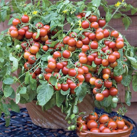 pictures of vegetable plants how to grow vegetable plants at home getpaidforphotos com