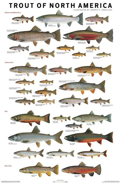 charts  confidently id trout salmon species