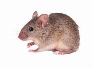 Maus In Wohnung : welche anzeichen deuten auf m use hin pest profi sch dlingsbek mpfung ~ Markanthonyermac.com Haus und Dekorationen