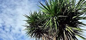 Yucca Palme Garten : yucca palme pflegen die besten tipps ~ Lizthompson.info Haus und Dekorationen