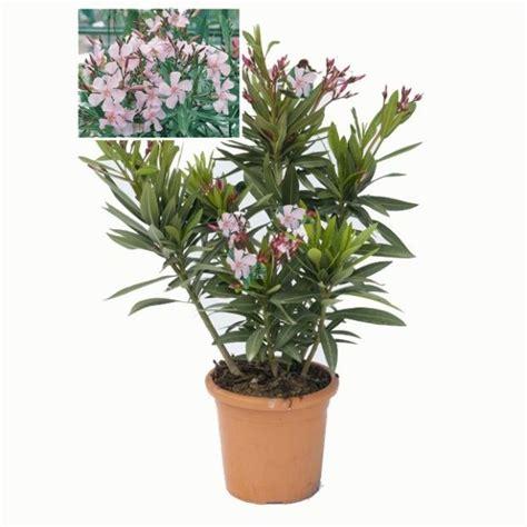 laurier en pot laurier emilie plantes et jardins