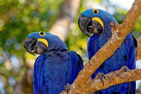 Araraazul  Aves Infoescola