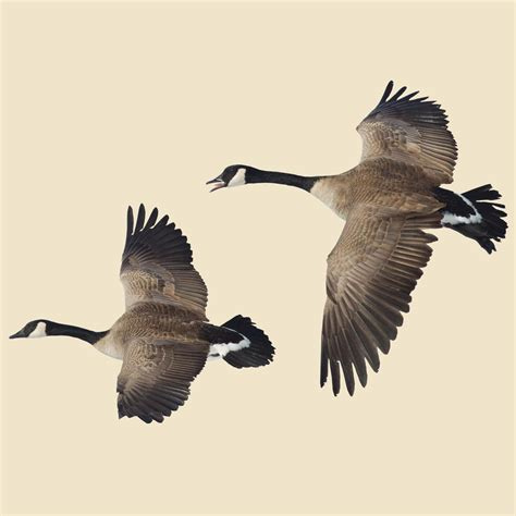 flying canada goose indoor wall graphic 2 flying geese left facing 221157 decorative