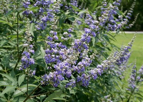 tree with small purple flowers random garden questions keep gardening interesting mississippi state university extension service