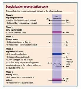 Depolarization Repolarization Cycle