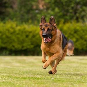 Incredible Information About the German Shepherd-Boxer Mix ...