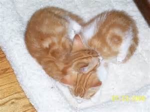 cardiac cats zoo cats archives international society for endangered