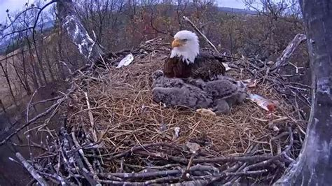 Bald Eagle Nest Cam Update What's Next For Pennsylvania's