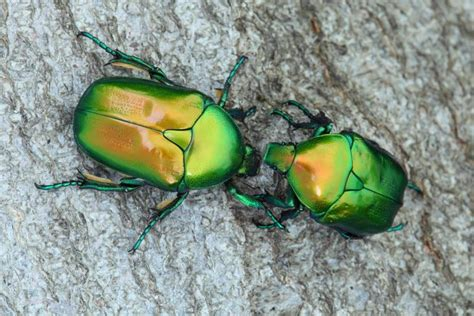 Why beetle populations are plummeting in the Mediterranean ...