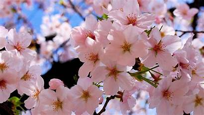 Blossoms Spring Resolution