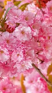Wallpaper sakura, 4k, HD wallpaper, cherry blossom, pink ...