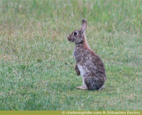 cuisiner un lapin de garenne les photos du lapin de garenne