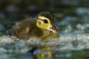 Baby Wood Duck Photograph by Mircea Costina Photography